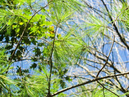 fir tree evergreen needles