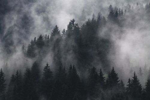 fir trees fog foggy