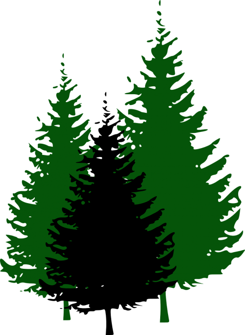 fir trees forest conifers