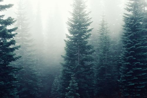 fir trees fog mist