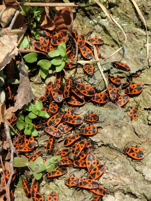fire bugs bugs insect