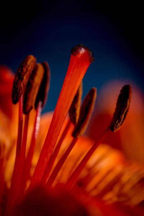 fire-lily lilium bulbiferum stamen