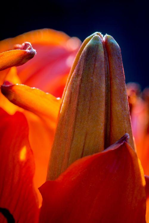 fire-lily lilium bulbiferum bud