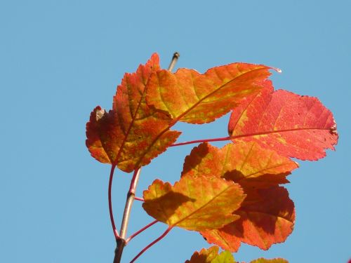 fire maple red small leaf