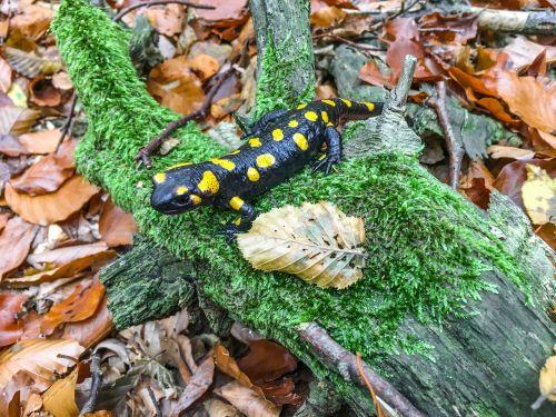 fire salamander autumn salamander