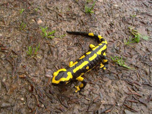fire salamander salamander animal