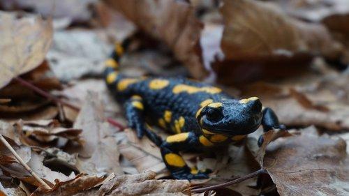 fire salamander  animal  salamander