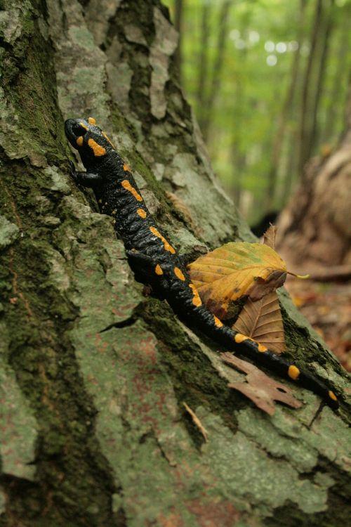 fire salamander salamander newt