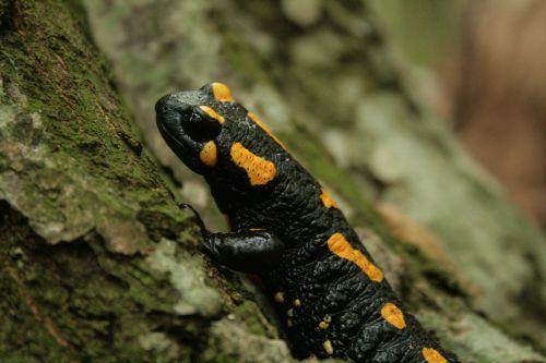 fire salamander salamander amphibian