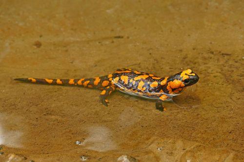 fire salamander lizard nature