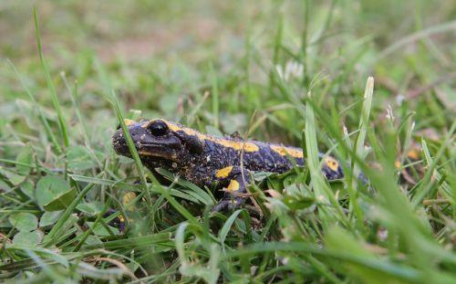 fire salamander amphibian yellow