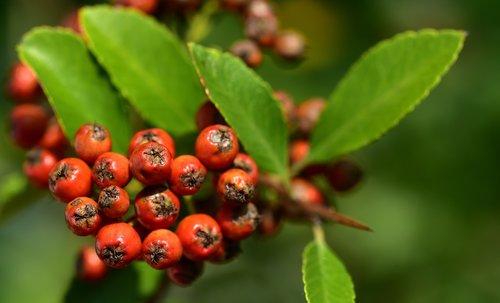 firethorn  orange  berries