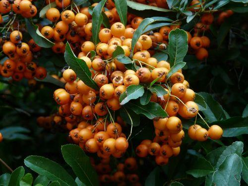 gaisrinė,vaisiai,uogos,oranžinė,raudona,krūmas,pyracantha,paprastosios gervuogės,visžalis krūmas,periwinkle,smailas,dekoratyvinis krūmas,apsidraudimas,paukščiai bosk,dekoratyvinis,žalias