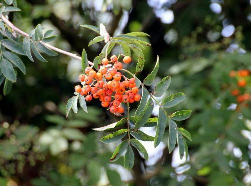 firethorn pyracantha evergreen shrubs