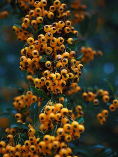 gaisrinė,vaisiai,uogos,oranžinė,krūmas,pyracantha,paprastosios gervuogės,visžalis krūmas,periwinkle,smailas,dekoratyvinis krūmas,apsidraudimas,paukščiai bosk,dekoratyvinis
