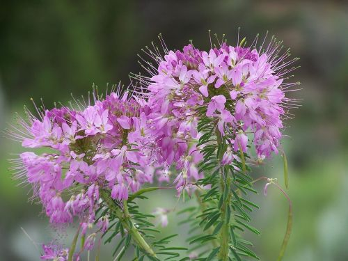 fireweed flowers floral