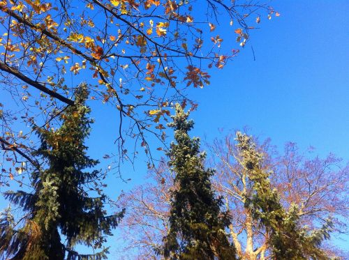 firs autumn leaves