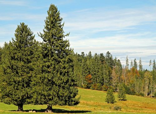 firs trees conifers
