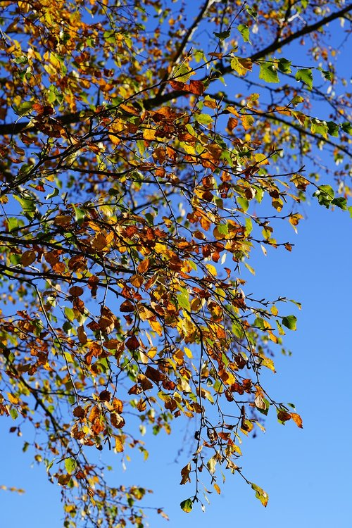 firs  leaves  autumn