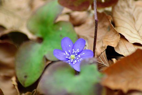 pirmiausia kepenys,pavasaris,Kovas