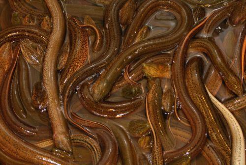 fish eels market