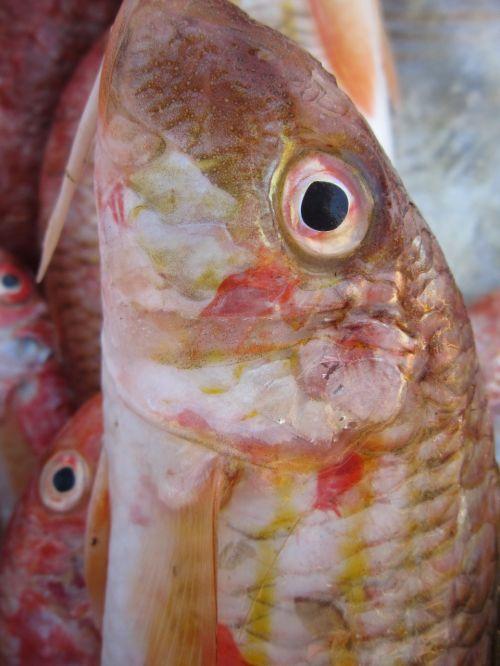 fish frisch fresh fish
