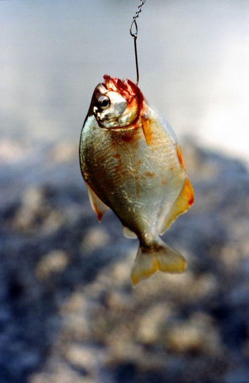 fish piranha dangerous