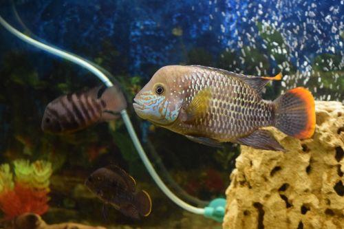 fish aquarium acar
