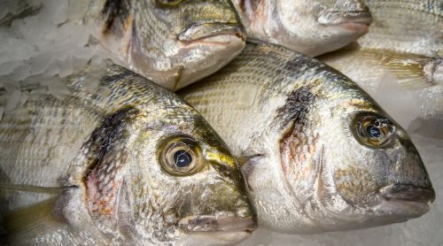 fish sea bream fishing