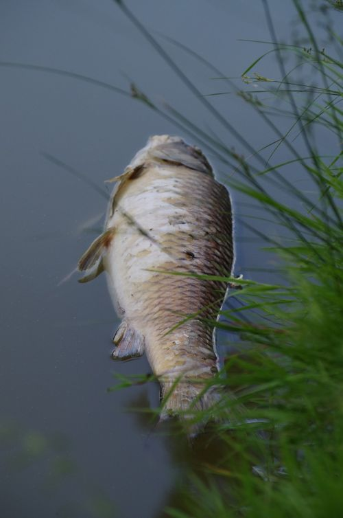 fish carcass pond