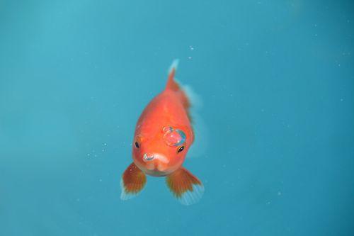 fish goldfish red