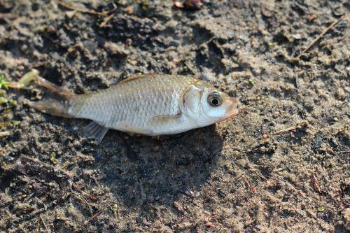 fish crucian land