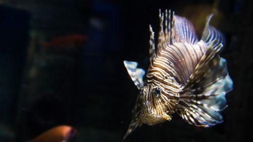fish lionfish exotic
