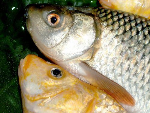 fish carp meal