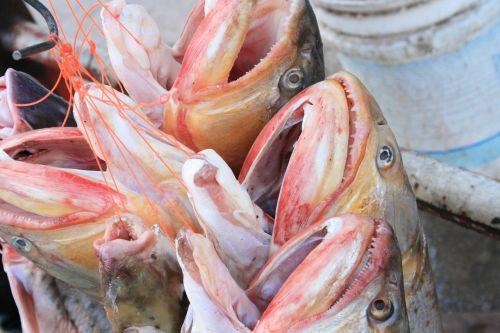 fish gold surubí