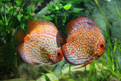 fish discus aquarium