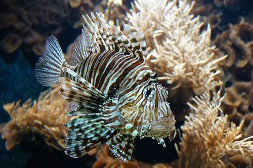fish sea ​​fish lion fish