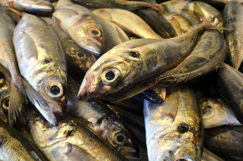fish sardine portugal