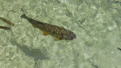fish carp lagoon