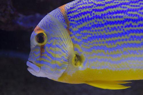 fish aquarium striped
