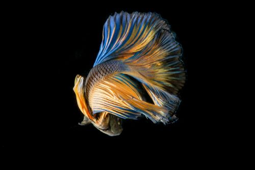 fish fighting fish black background