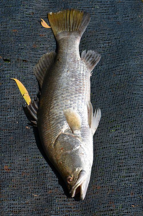 fish sea life baramundi