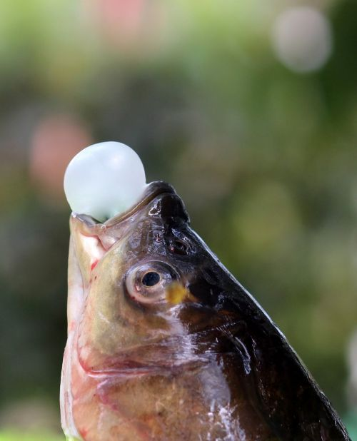 fish,chewing gum,funny,balloon