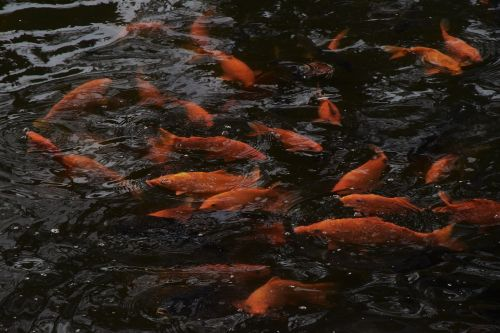 fish living foods goldfish