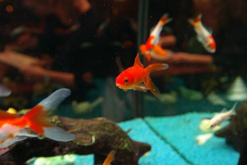 fish goldfish freshwater fish