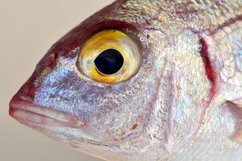 fish mediterranean salzwasserfisch
