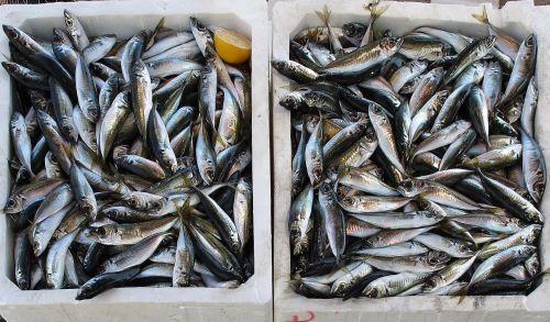 fish freshly caught fishing