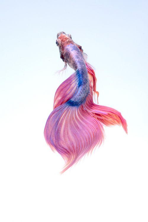 žuvis,povandeninis,raudona,betta,akvariumas