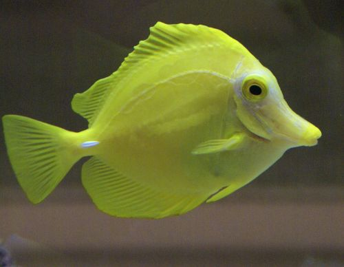 fish yellow aquarium