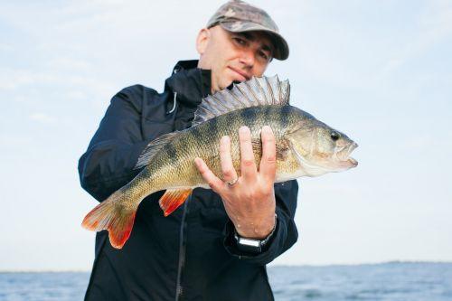 fish perch freshwater fish
